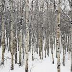 winter aspen color