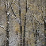 cottonwood abstract