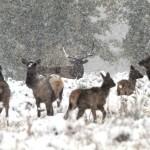 Elk storm
