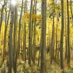 vert trees sunburst